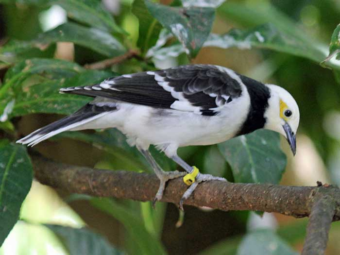 Cheap Flights - Black-collared starling
