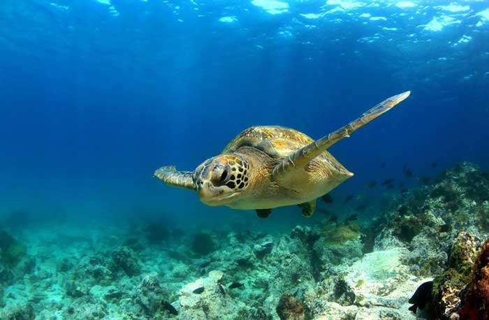 Cheap Flights - Green Sea Turtle Galapagos