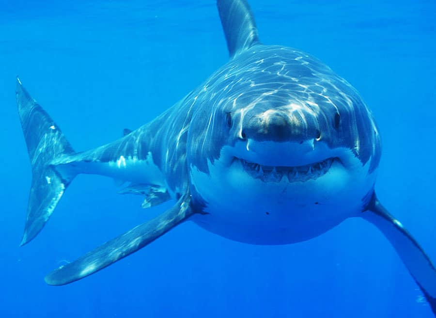 A Great White shark (Carcharodon carcharias) off South Africa